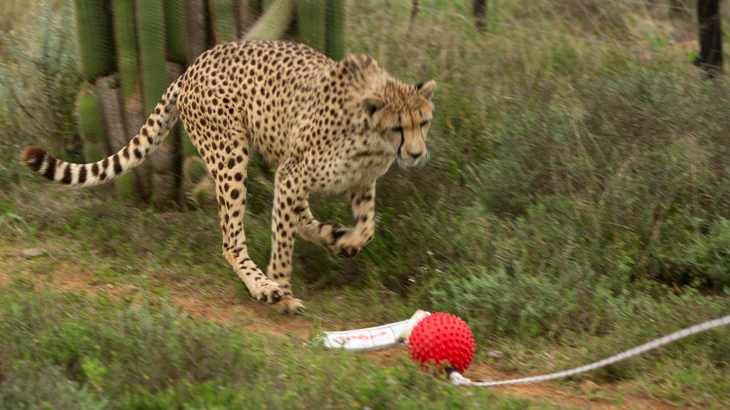 day 19–Playing Chasey with the Cheetah