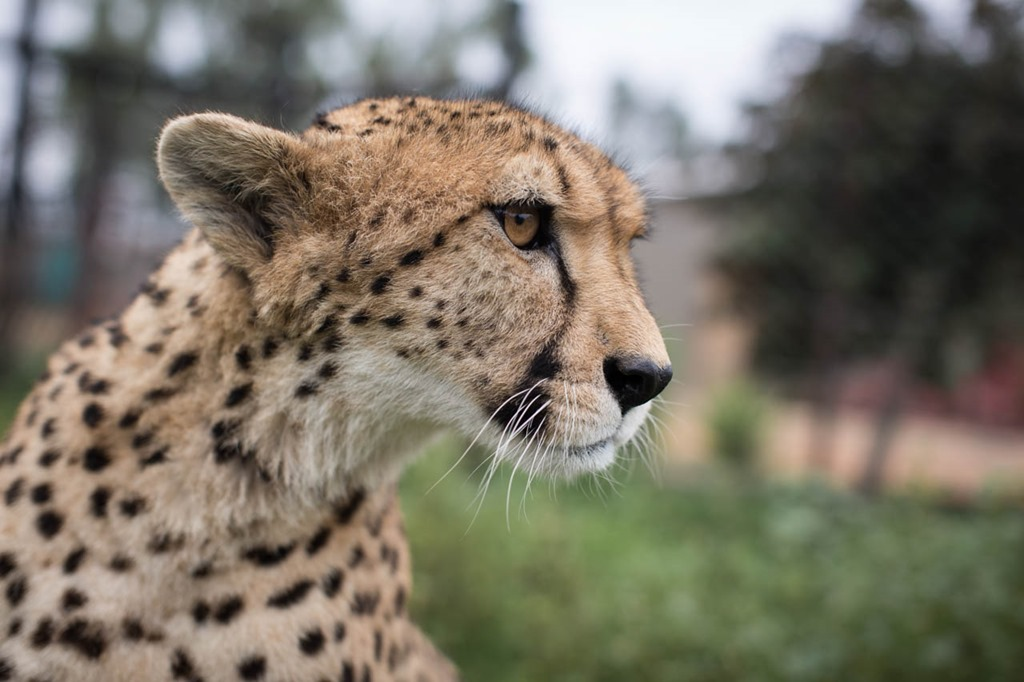 day 21–Taking the Cheetah For A Walk